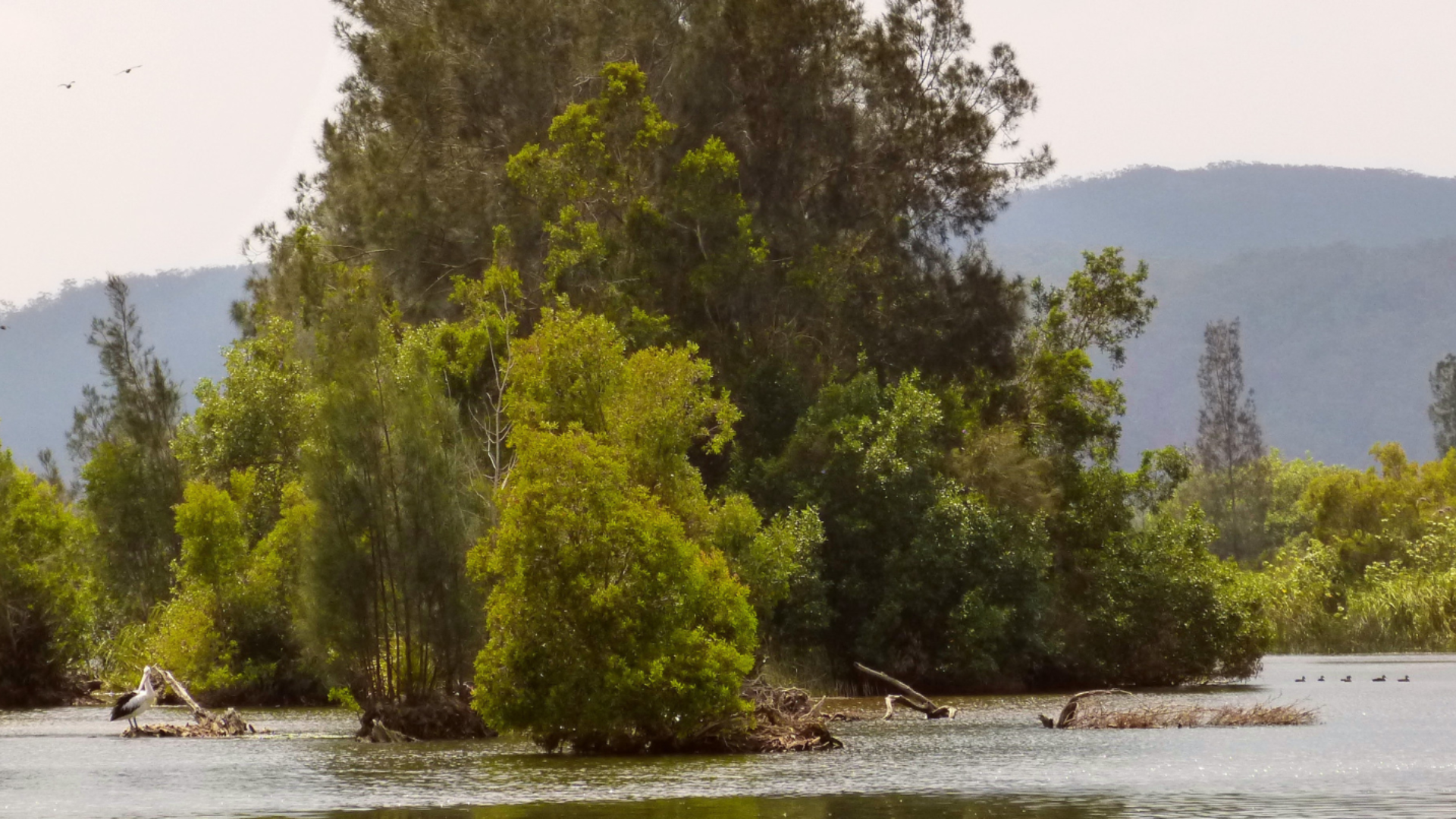 Pelican hanging out on the river - noosa